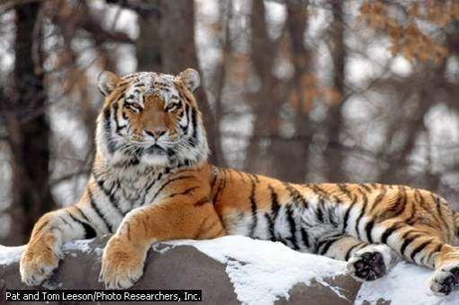 Tigre  Una especie tan común que todo mundo conoce, pero hay ya muy pocos ejemplares, tan sólo 3200 tigres en su hábitat natural, en los últimos 10 años la población ha disminuido en un 40%. Información del 2012