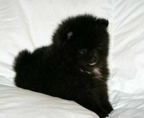 17 best ideas about toy pomeranian on pinterest teacup pomeranian puppy teacup dogs and toy. Black Bedroom Furniture Sets. Home Design Ideas