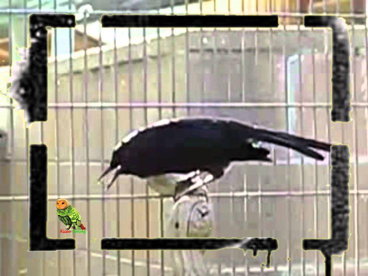 Suara Burung penangkaran Kacer Lokal Juara super gacor
