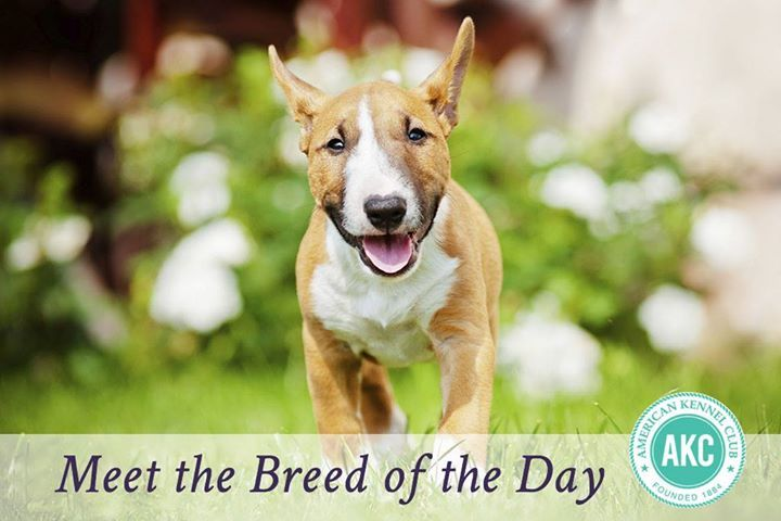 The Breed of the Day is the Miniature Bull Terrier, described as upbeat, mischievous, and comical. #MiniatureBullTerrier