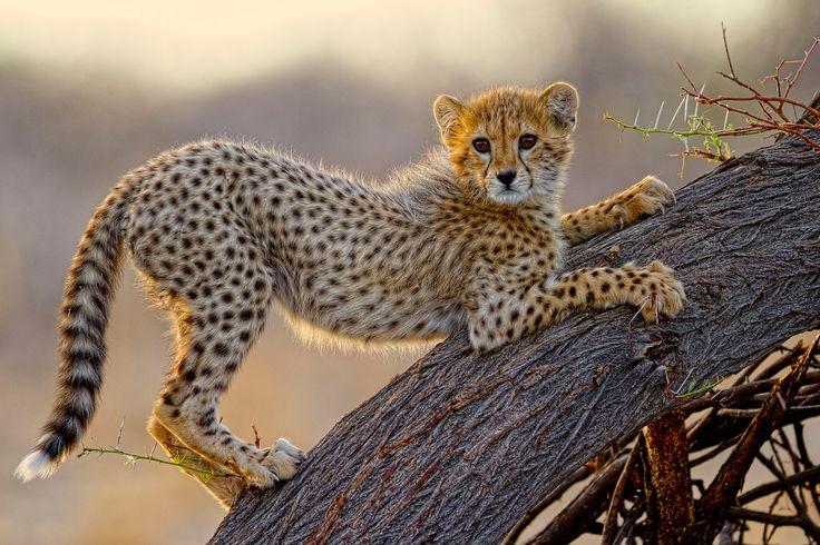 """Playtime"" in Etosha National Park, Namibia ©Charlie Lynam"