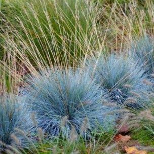La Fétuque bleue (Festuca glauca) est une plante vivace de la famille des Poacées, originaire d'Europe. Cette jolie graminée persistante au feuillage bleuté pousse en touffe et apporte une véritable touche d'originalité au jardin.