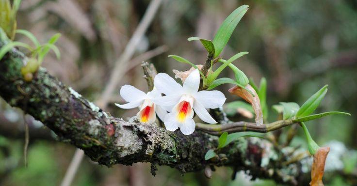 Orquídea em vaso? Não, na árvore! Veja dicas de como afixar e cuidar