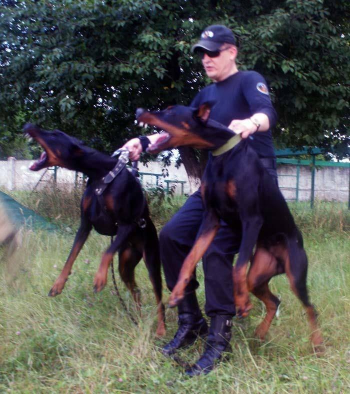 Doberman Attack Dogs Video