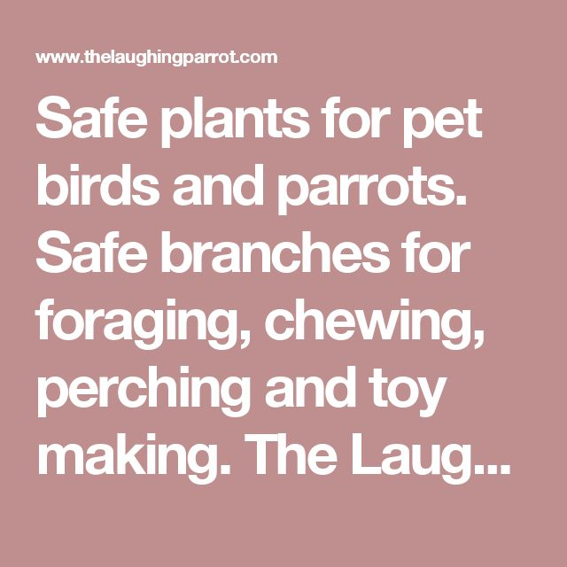 Safe plants for pet birds and parrots. Safe branches for foraging, chewing, perching and toy making. The Laughing Parrot has everything to please your parrot!