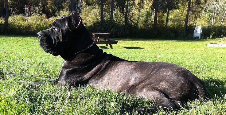 Cane Corso, Cane Corso puppy, Black Brindle Cane Corso