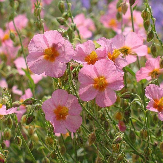 Helianthemum `Lawrenson`s Pink`  (Zonneroosje) wintergroen