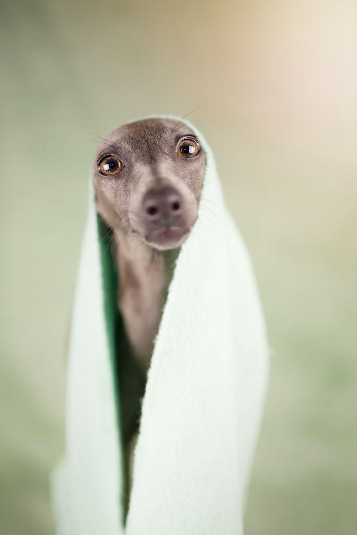 italian greyhound -
