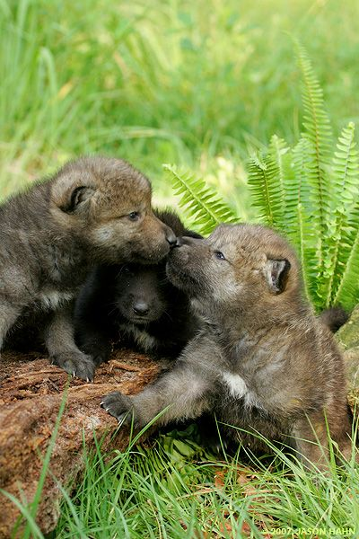 Timber Wolf Pup | Gray Wolf, Canis lupus lycaon Eastern timber wolf subspecies