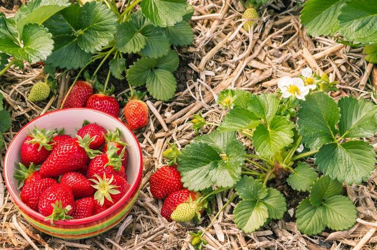 Quand et comment planter un pied de fraisier ? Comment
