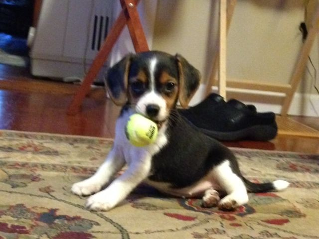 Simple Toy Beagle Adorable Dog - 0aeccf30fa9b1a01827cb02136b70aa8--beagle-funny-funny-dogs  Best Photo Reference_27985  .jpg