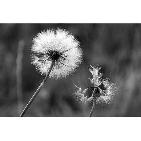 Obraz na płótnie - Czarno-biały dmuchawiec - dostępny w rozmiarach 120x80, 90x60, 70x45, 60x40 i 40x26 cm #fedkolor #obraz #ze #zdjęcia #na #płótnie #dmuchawiec #rośliny #roślinność #natura #czarnobiałe #blackwhite #dekoracje #ozdoby #obraznapłótnie #obrazzezdjęcia #zdjęcianapłótnie #wydruki #drukowanie #fotografie