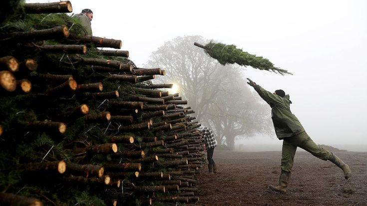 A glimpse inside one of Oregon's Christmas tree farms ...