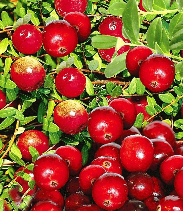 Cranberry Beere 1a Qualitat Online Kaufen Baldur Garten Cranberry Beeren Pflanzen
