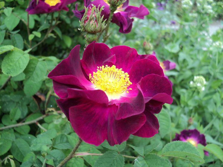 """Rosa """" La belle sultane"""""""