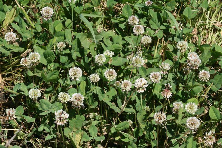 Τριφύλλι (Trifolium repens)