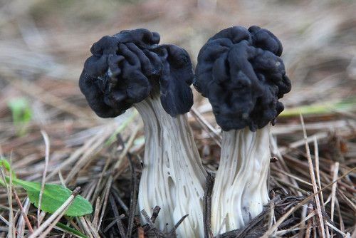 black elfin saddle      mushroom blog