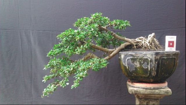 koleksi-bonsai-hokiantea