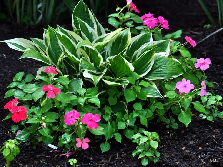 impatiens and hostas