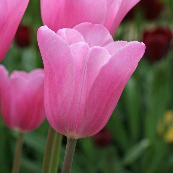 Die 25+ Besten Ideen Zu Rosa Tulpen Auf Pinterest | Tulpe ... Tulpen Im Garten Tipps Rund Um Die Pflege Fur Die Fruhlingsblumen