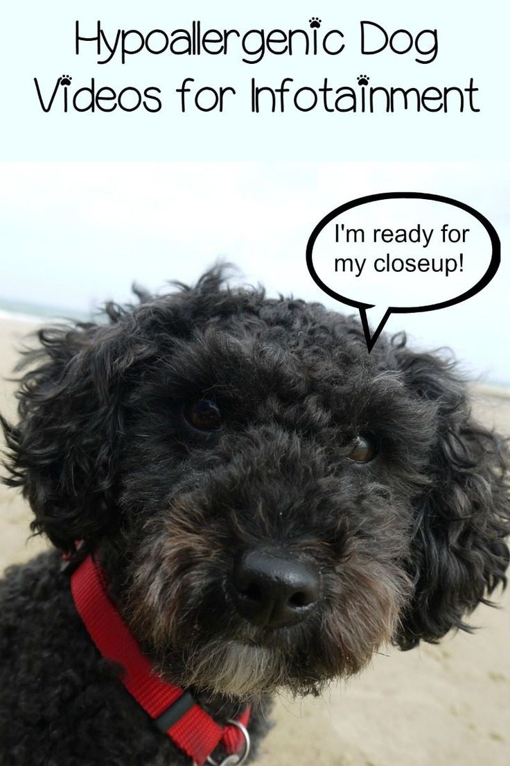 Hypoallergenic dog videos for infotainment doggy health tips