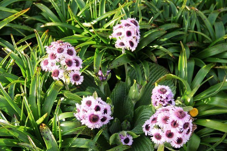 Pleurophyllum speciosum