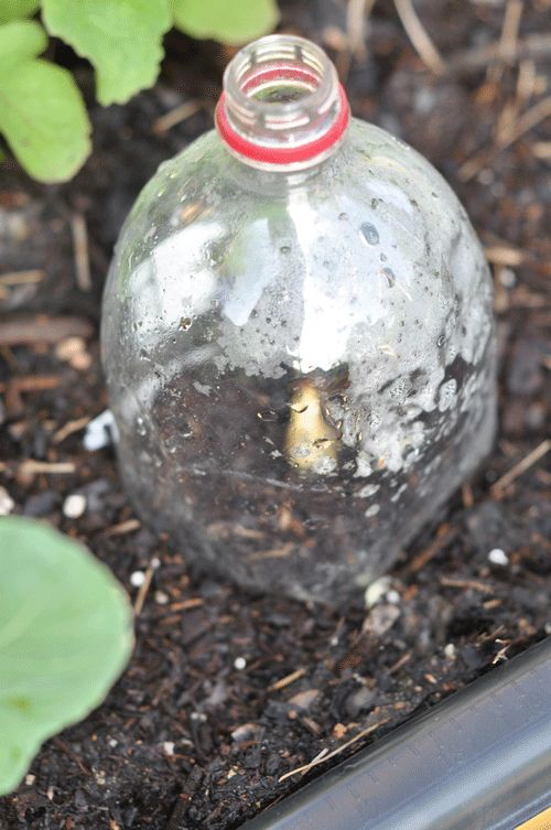 How to make a mini green house. Use the top of a 2 liter bottle