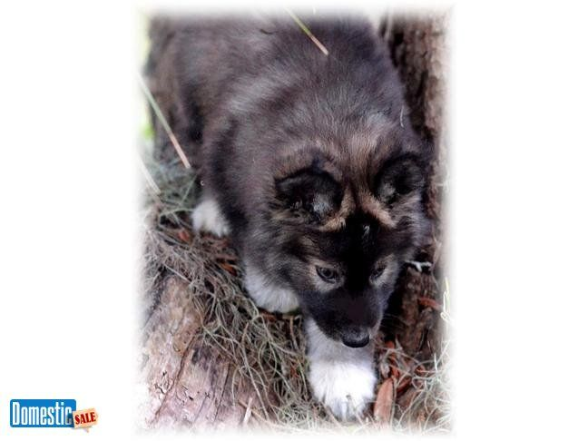 www.wolamutes.com Eastern Timber Wolf puppies for sale - beautiful and intelligent! Prices start from $700-2000 Other puppies available: Siberian Husky x Gray Wolf Giant Alaskan Malamute x Timber Wolf German Shepherd x Timber Wolf All puppies for sale come with a health guarantee, first shots and more. www.wolamutes.com We have affiliated breeders across the U.S ~ Current puppies located in CA, UT, NV, NC and FL ...