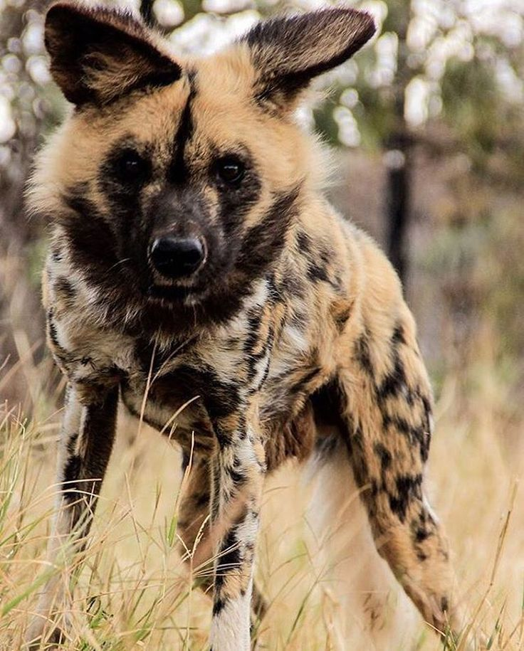 See this Instagram photo by @africanwilddog • 26 likes