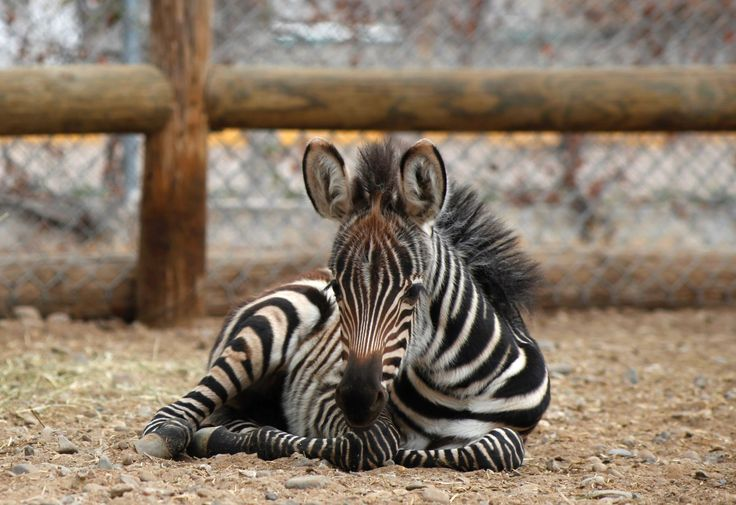 Zoo babies of 2015 Burchell's zebra, Valley of Juarez zoo, Mexico       A newborn Burchell's zebra lies on the ground at the zoo on January 29, 2015. The foal was born in captivity on January 22, 2015