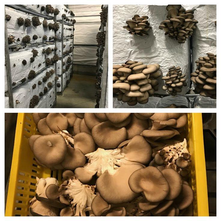 Az+úgy+volt,+hogy+a+Bio-Fungi+Kft.+invitálására+elmentem+Ócsára,+a+telephelyre,+ahol+megnézhettem+hogyan+is+termesztik+a+különböző+gombákat.+Milyen+körülmények+között,+milyen+fajtákat+termelnek.+Amit+ott+láttam+az+nagyon+meglepett.+Hiszen+az+elképzelt+pincék,+tele+nagy+zsákokkal,+amin+teremnek+a…