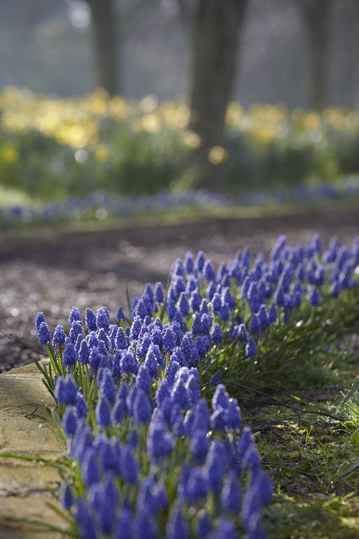 Gardening 101: Grape Hyacinth muscari volle zon tot halfschaduw, 8cm van elkaar planten