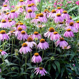 Try growing medicinal herbs like echinacea, elecampane, lemon balm and valerian, we