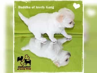 Sehr süßer typvoller Chihuahua Bub ist auf der Suche nach seinem zu Hause auf LEBENSZEIT
