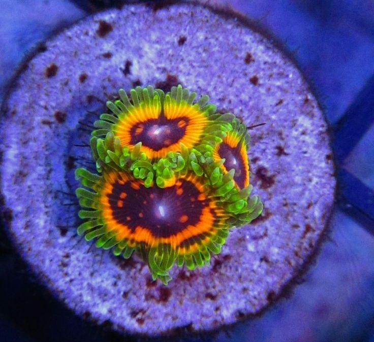 http://the-pet-chest.com/ US $799.99 New in Pet Supplies, Fish & Aquariums, Coral & Live Rock