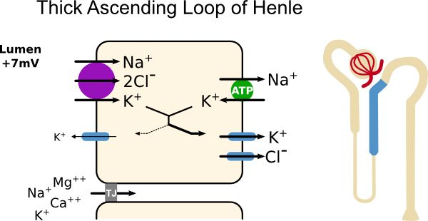 Thick Ascending Loop of Henle Transport | Pathway Medicine