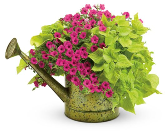 It only takes two plants to say Winter is gone when they are 'Sweet Caroline Sweetheart Light Green' Sweet Potato Vine, and Supertunia® Sangria Charm.