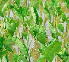 Cómo cocinar secas hojas de taro