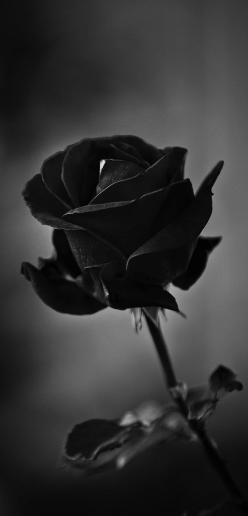 Black roses are so cool. I mean, why don't people like these things?