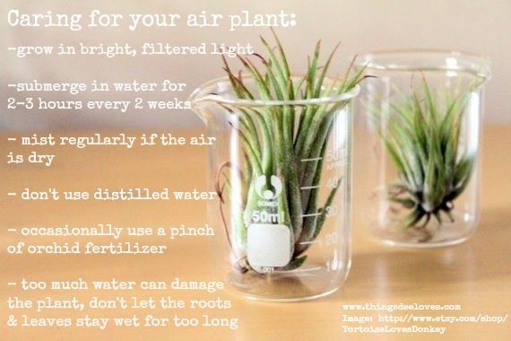 caring for your air plants