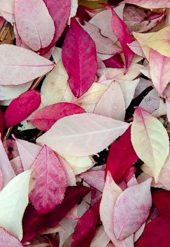 Leaves of pink
