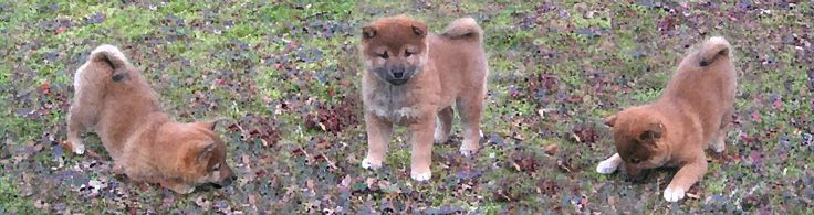 Mount St. Helen WA Shiba Inu & Dogs For Sale | Little River Show Dogs