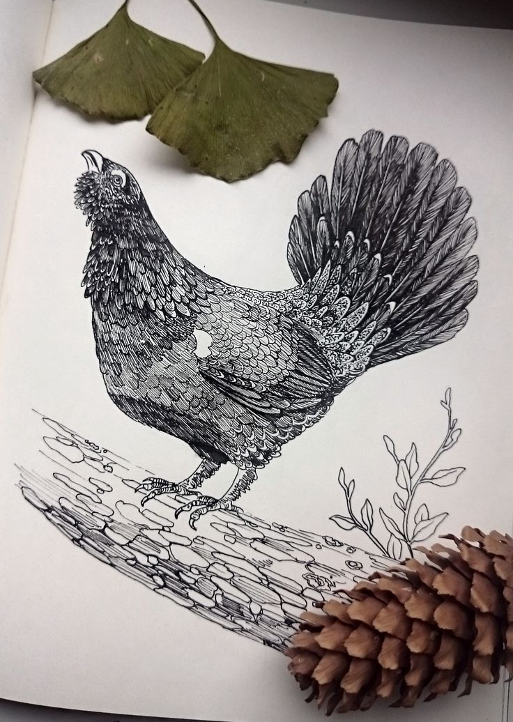 Capercaillie, drawing by @wkolinska