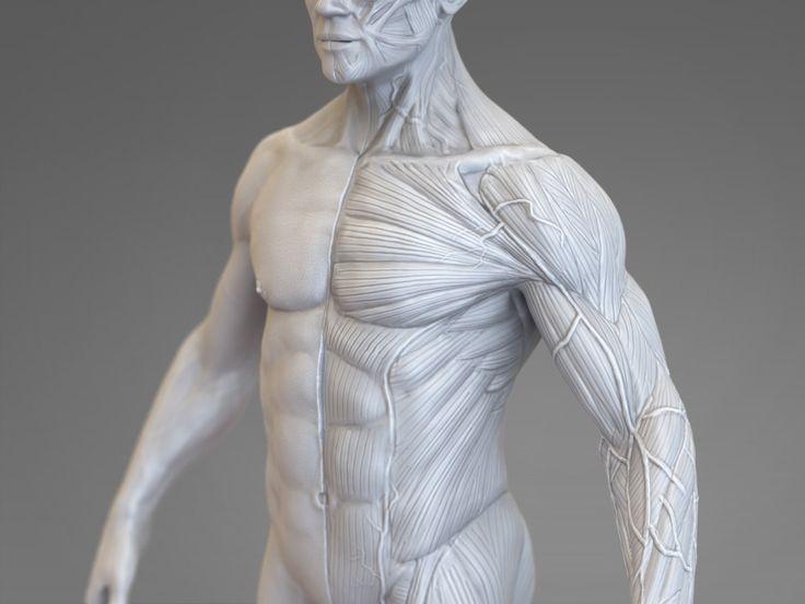 ArtStation - Anatomical Study, Pascal Ackermann