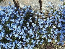 """In a German legend, God named all the plants when a tiny unnamed one cried out, """"Forget-me-not, O Lord!"""" God replied, """"That shall be your name."""""""
