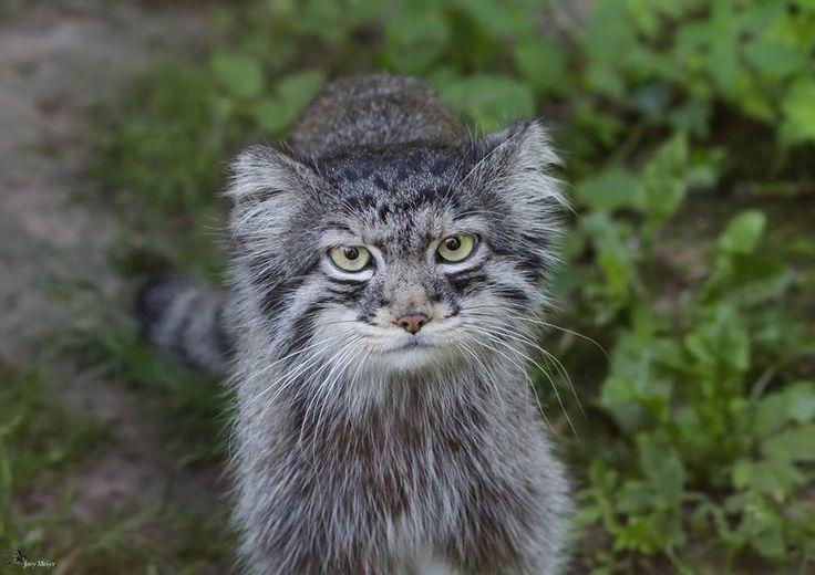 il gatto di Pallas (Otocolobus Manul), Anche chiamato il manul, è un piccolo gatto selvatico per avere un ampio ma distribuzione disomogenea nelle praterie e montani steppe dell'Asia Centrale. Il gatto di pallas il nome dal naturalista tedesco Peter Simon Pallas, che per primo ha descritto la specie nel 1776 sotto il binomio felis manul