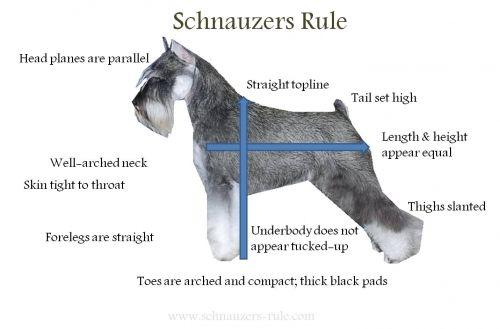 Miniature Schnauzer Body Characteristics via Schnauzers-Rule.com