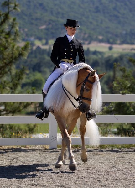 DRESSAGE HAFLINGER. if teddy is ever this coordinated  I will die