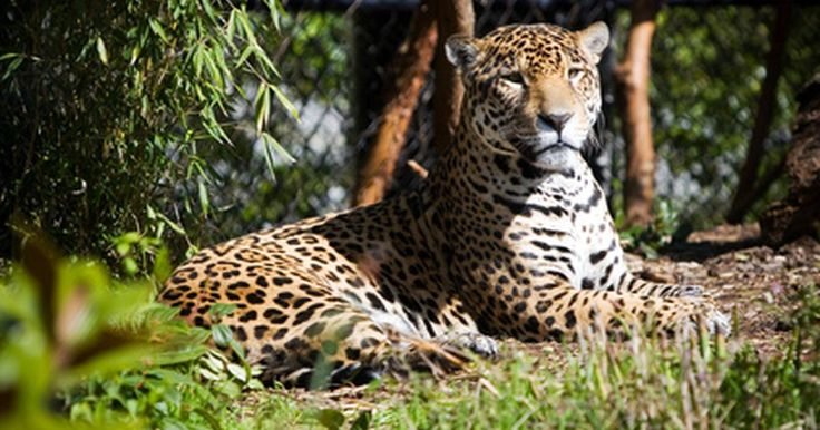 Datos sobre los animales de la selva en el Amazonas. La selva amazónica en Brasil es el hogar de millones de especies de vida silvestre, incluyendo algunos de los animales más famosos del mundo. De las ranas a los monos a los grandes felinos, el Amazonas tiene una amplia variedad de vida animal. Sin embargo, como el cambio ambiental, la deforestación, la caza y el comercio ilegal de mascotas suponen ...