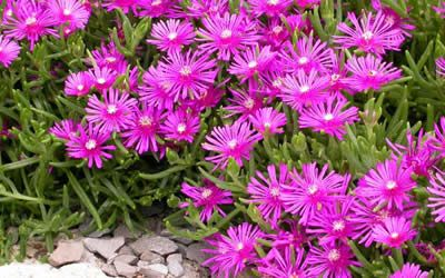 Purple Ice Plant. I often see these succulents growing near the beaches here in California. They are beautiful ground cover plants and I want them in my yard.